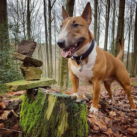 Pin on Bully Dog Breeds Daily