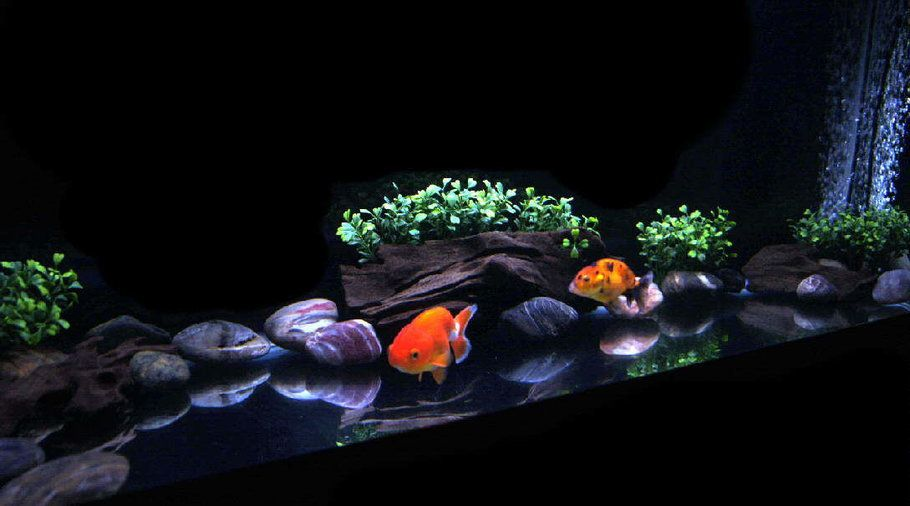 30 gallon goldfish tank with 2 japanese ranchu's. | fish tank