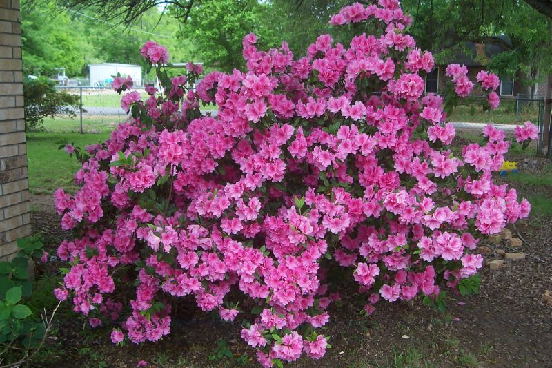 Azaleas Are One Of A Few Brilliantly Colored Options For Shade Gardens In Our Region Not As Many Plants Bloom In The Shade As In Th Azalea Bush Azaleas Shrubs