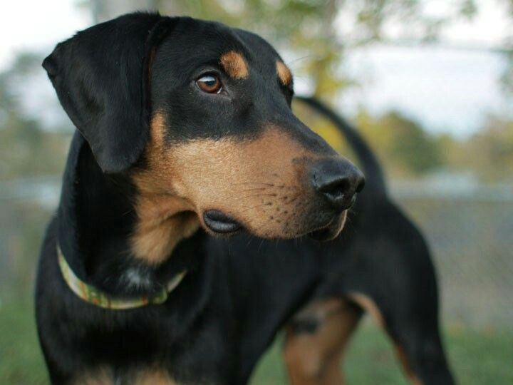 Beagleman Beagle Dobermann Perruno Animales Fotografia