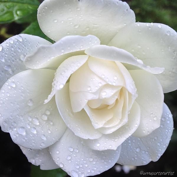 White Rose And Raindrops By Anna Porter White Roses Floral Art Floral Photography