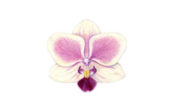 Orchid Print Orchid Drawing Colored By Sarahmellingdrawings