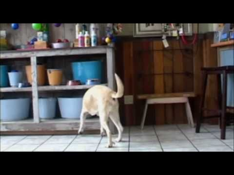 K9 Nose Work Video Nose Work Dogs Nose Work Detection Dogs