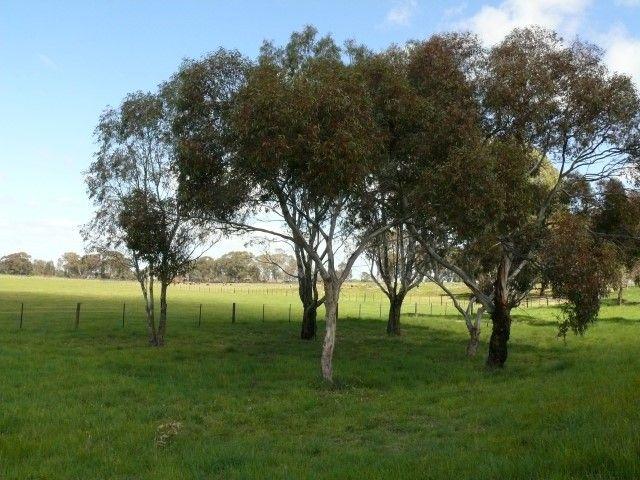 Eucalyptus Euky Dwarf Garden Eucalyptus Tree Small 640 x 480