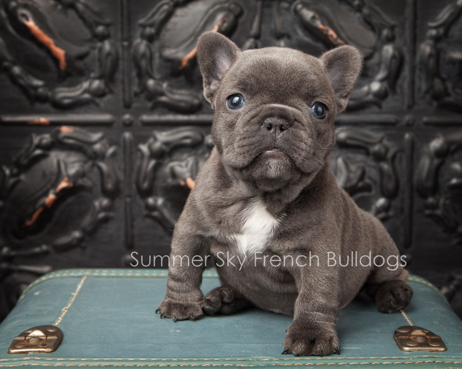 French Bulldog Puppy Will Be 8 Weeks On January 5 2014 I