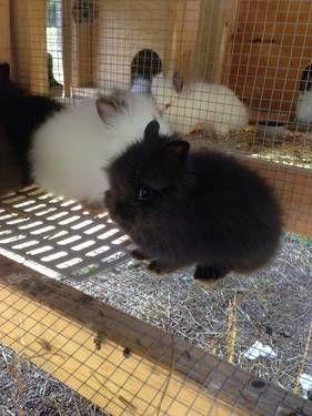 Lionhead Rabbits Lionhead Rabbit Pets For Sale Lionhead Bunny