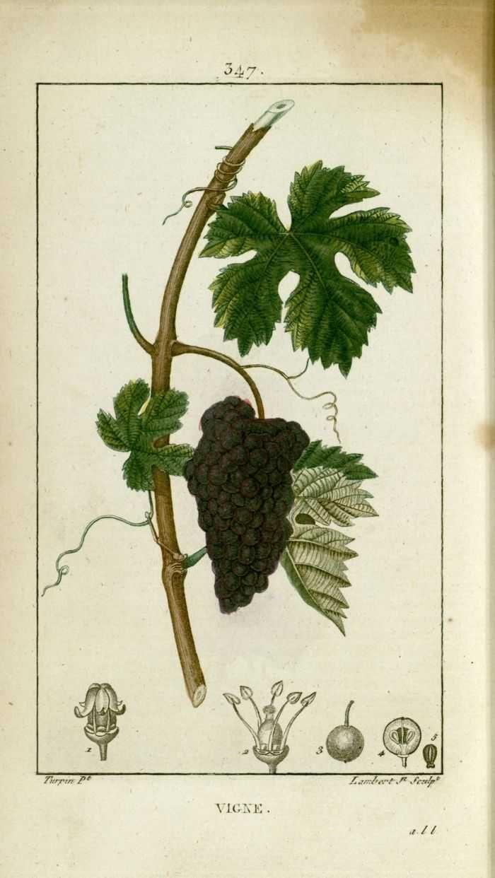 épinglé Par Lydia Irwin Sur Fruit Vigne Feuille De Vigne