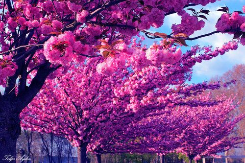 Pin By Michelle Wos Penasa On Pop Of Colour Japanese Cherry Tree Japanese Cherry Cherry Tree