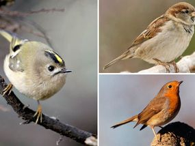 EUROPE'S smallest bird is among several dainty species which have been boosted by the mild winter, the RSPB said yesterday.