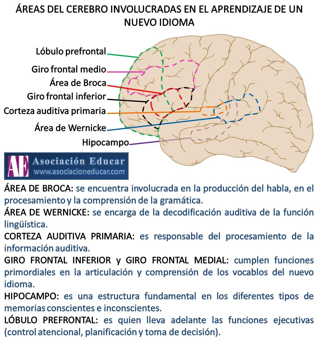 Infograf a neurociencias reas del cerebro involucradas for Areas de la cocina y sus funciones