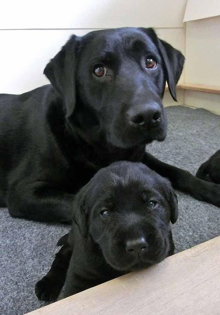 newfoundland puppies for sale in cincinnati ohio