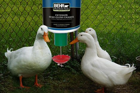 Perfect Pekin Duck Using PECk O MATIC Automatic Duck Feeder   The PECKOMATIC  Automatic Duck Feeder Not Only Saves Feed But Also Discourages Vermin Onto  The Site.
