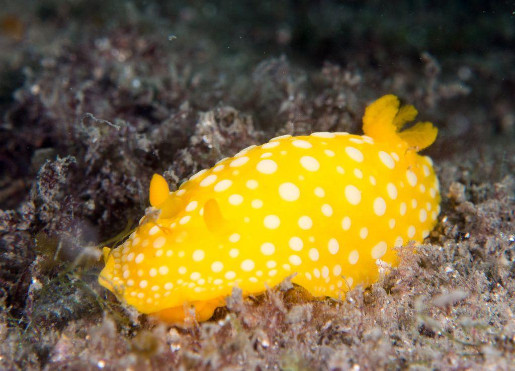 Marigold dorid - Doris chrysoderma   par Marine Explorer