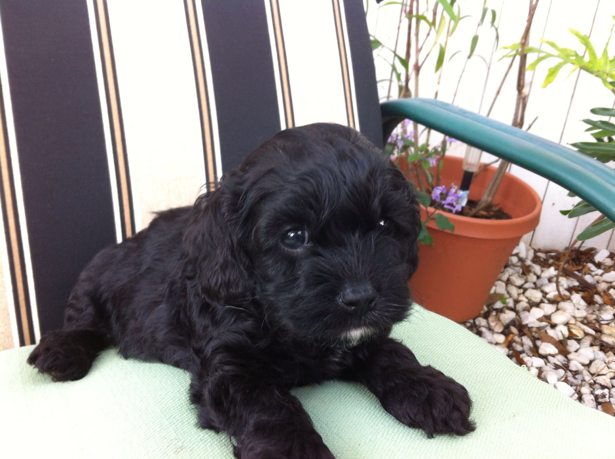 Cockapoo haircuts - A Black Cockapoo From Our Litters
