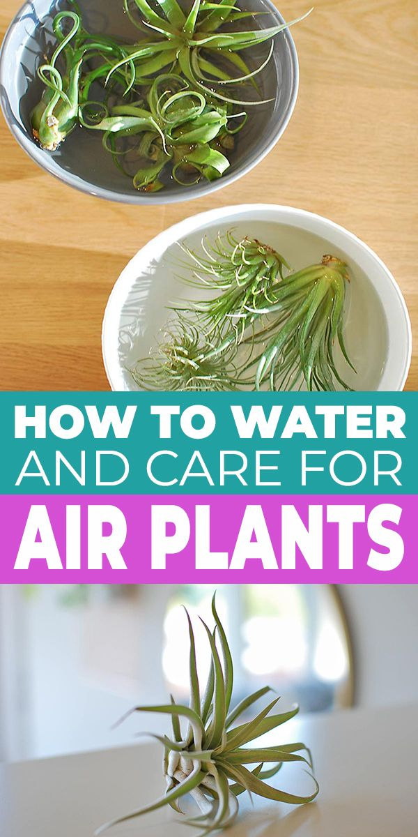How To Water & Care For Air Plants • The Garden Glove in