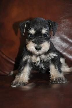 schnauzer puppy!!!  My Sadie looked just like this once upon a time... I miss her