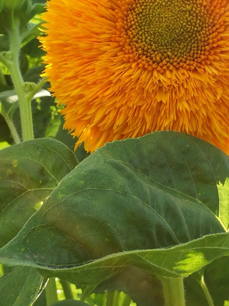 Teddy Bear Sunflower Beautiful flowers pictures