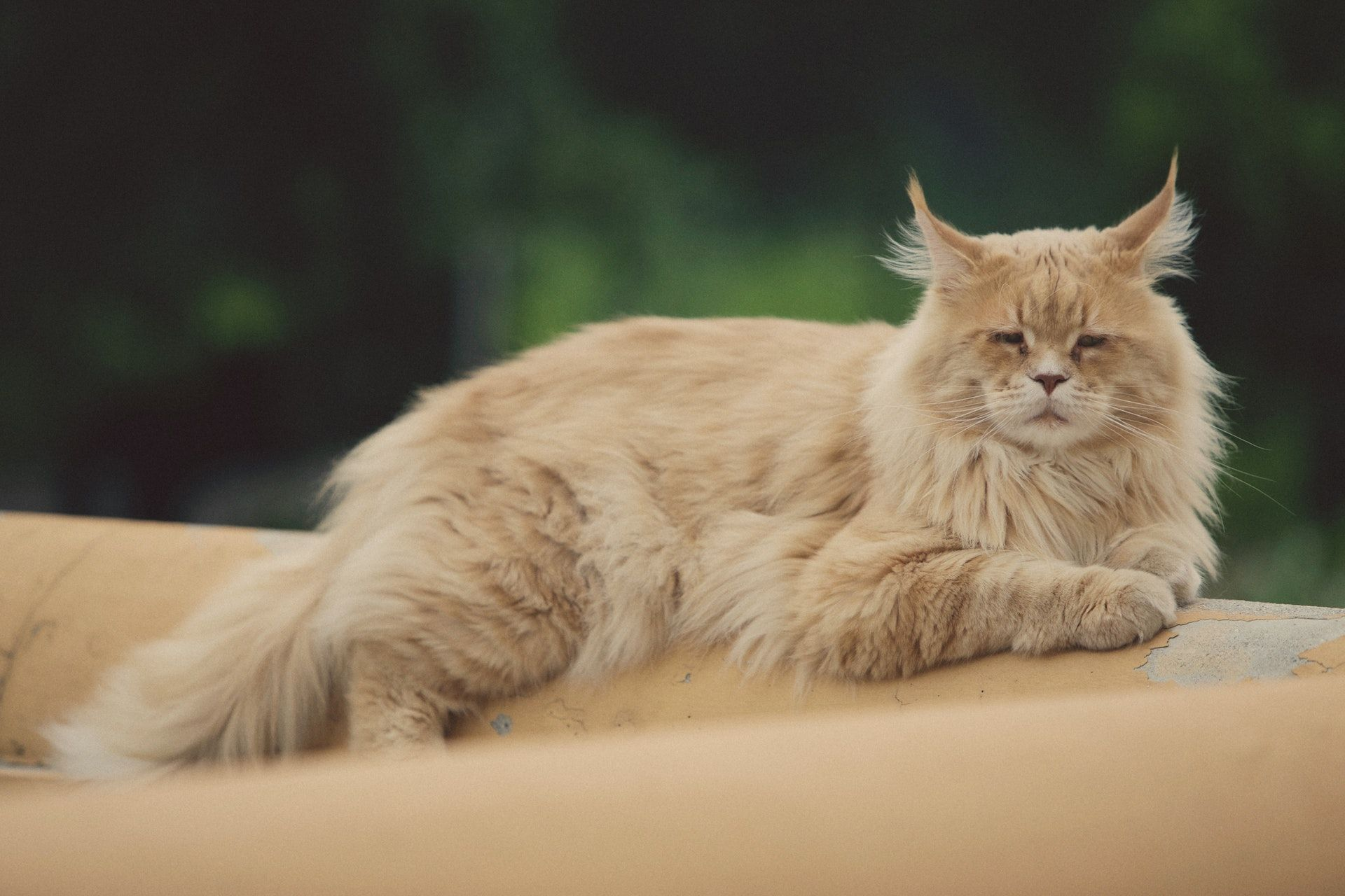 Large Domestic Cat Breeds Top 7 Largest Cat Breeds in