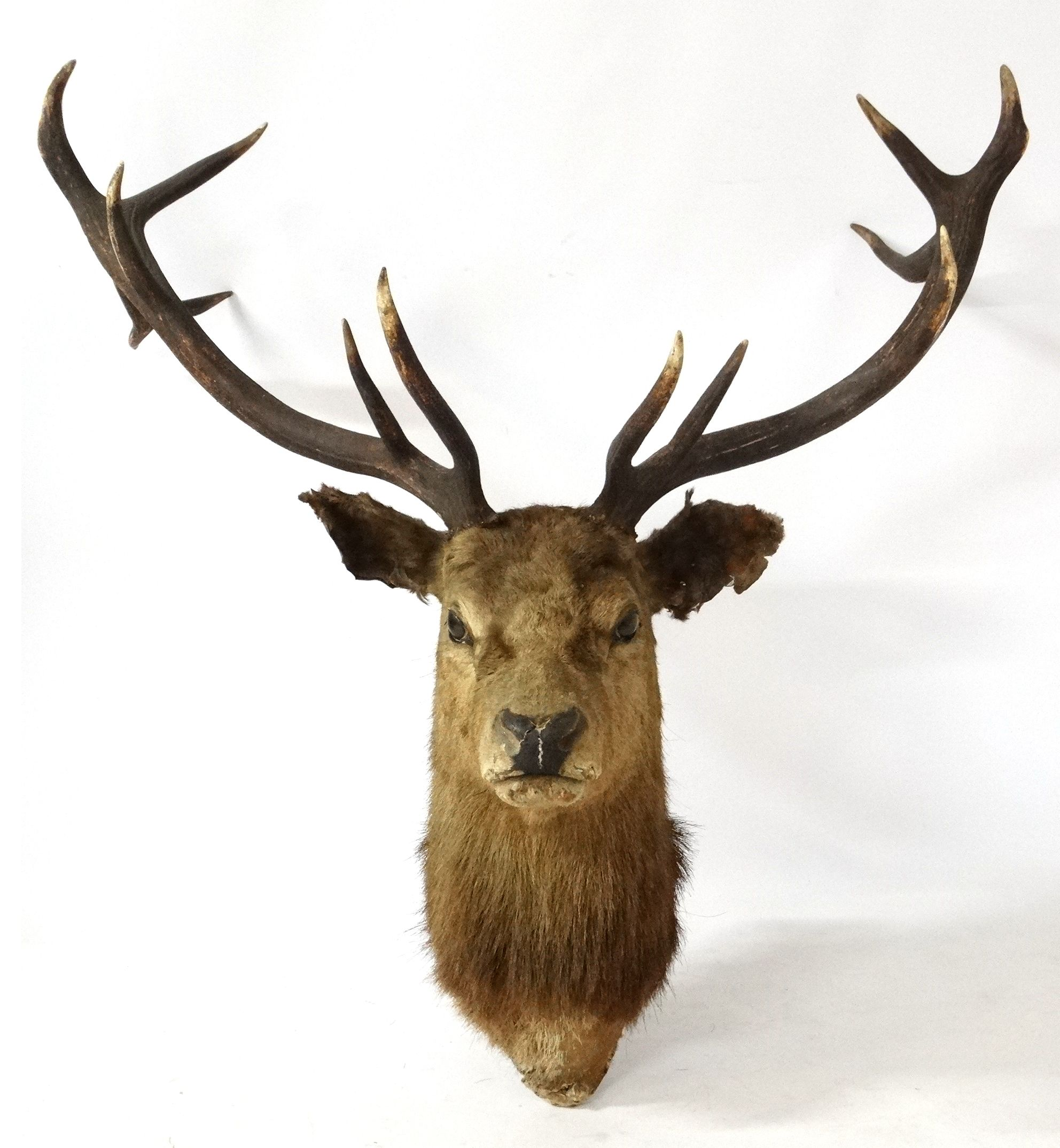 Lot 59 Taxidermy A Royal Stag S Head With 12 Point