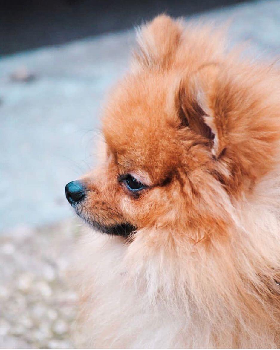 Le Plus Beau Chien Du Monde : chien, monde, Spitz, Chien, Monde, Chien,, Beaux, Chiens,
