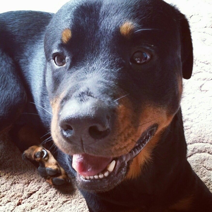 Roman the Rottie I can't imagine life without him now.