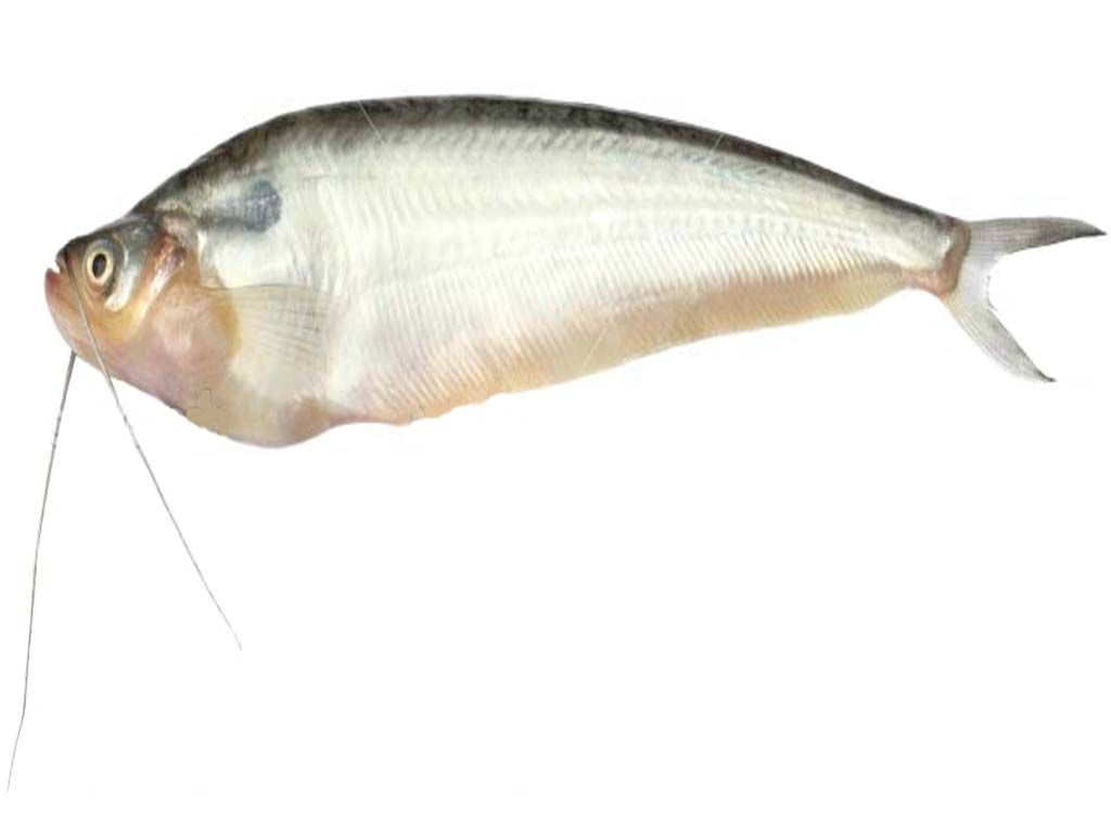 Freshwater fish nutrition - Pabda Fish Is A Freshwater Fish Species It Is Very Tasty And Has High Nutrition