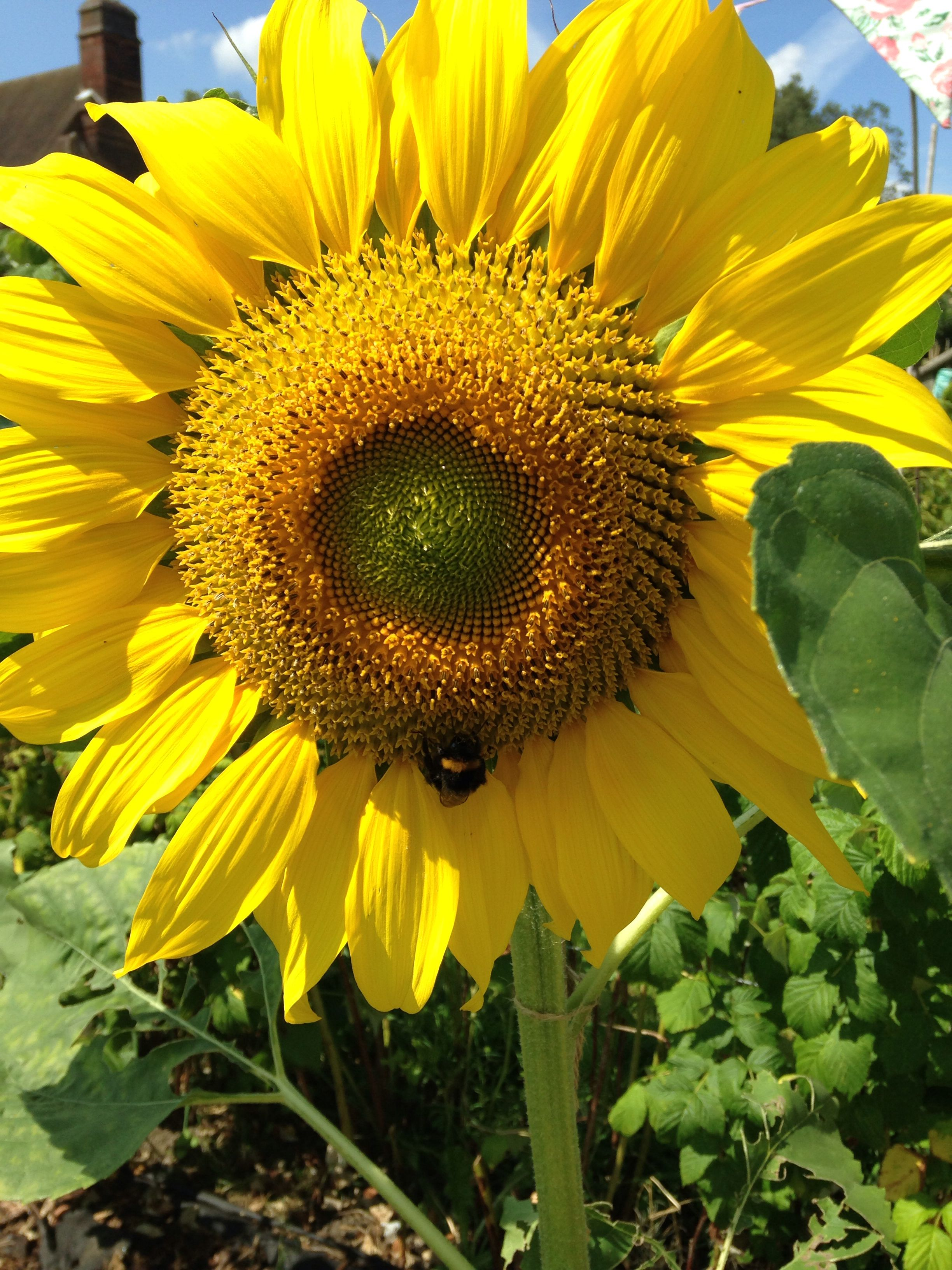 Beautiful sunflowers ...! #Allotment