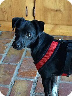 Washington Dc Chihuahua Italian Greyhound Mix Meet Little Jax