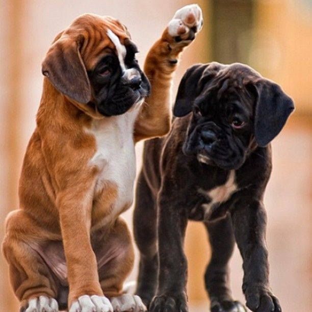 Come On Bro High Five Boxer Puppies Boxer Dogs Boxer Puppy