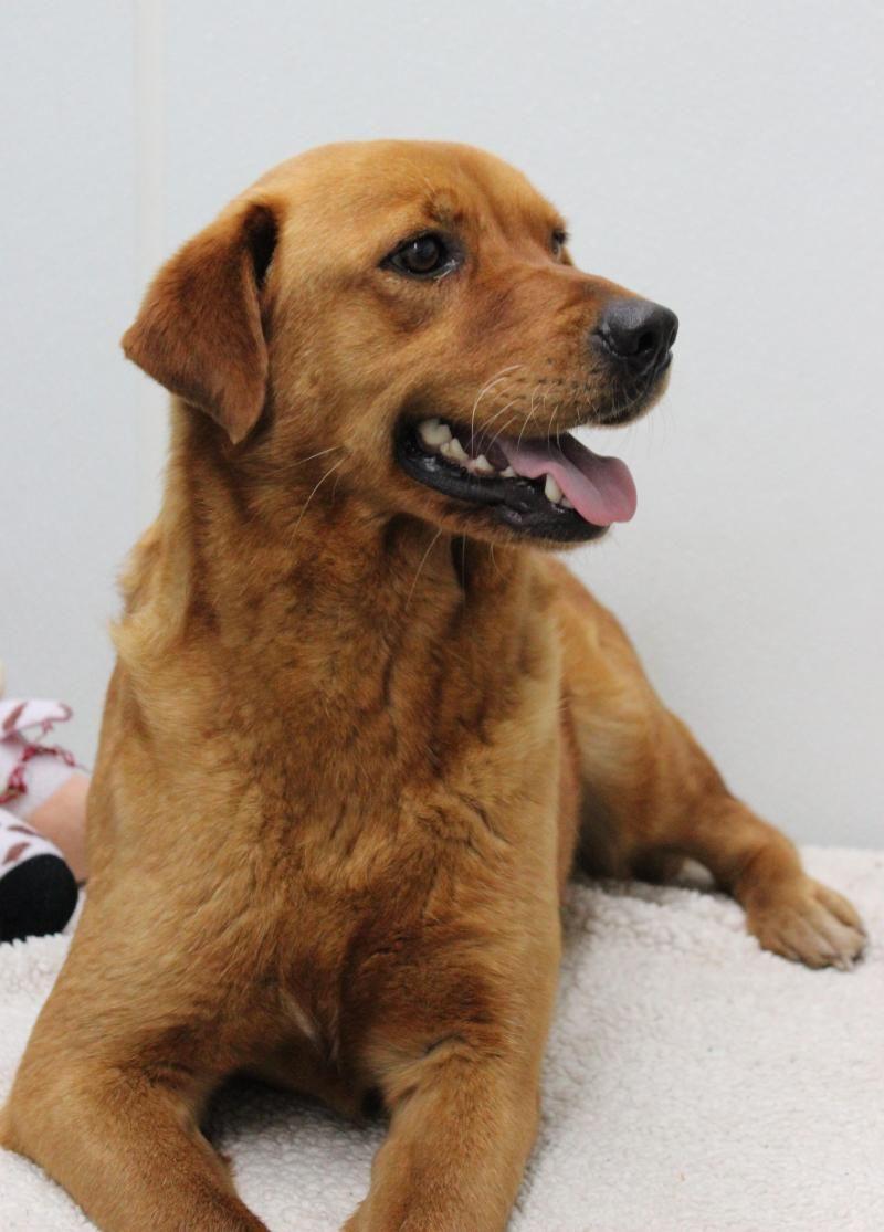 Adopt Jodie on Dogs golden retriever, Golden retriever