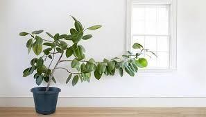 「ゴムの木 水栽培やり方」の検索結果 - Yahoo!検索(画像)