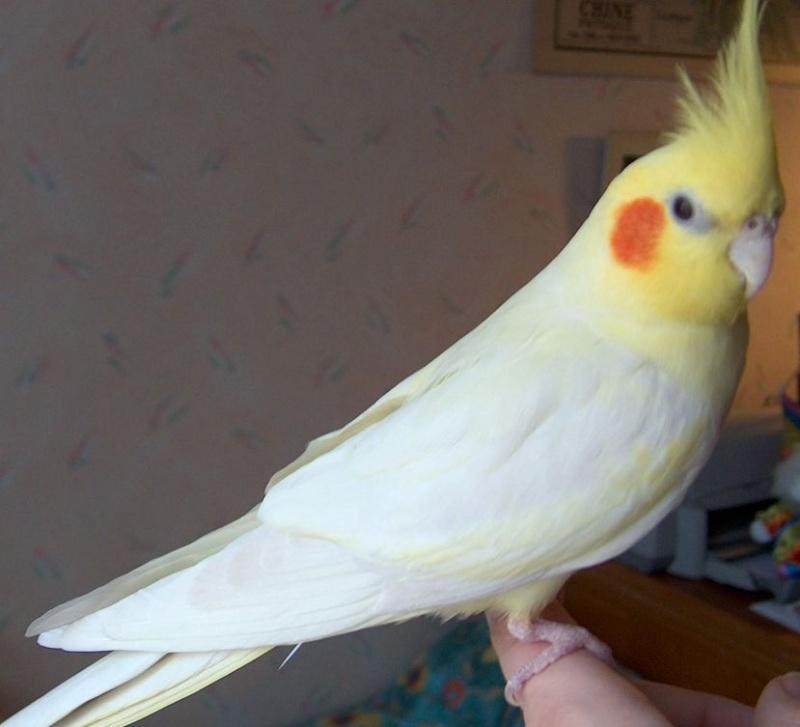 انواع طيور الكروان المرسال Parrot Bird