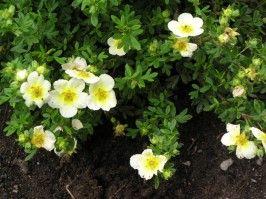 Dasiphora fruticosa ´Lime Light´  Ölandstok  Blommar rikligt och trivs bäst på soliga platser. Passar till stora buskgrupper eller som häck. Popular och användbar. Blommorna är ljus, lime färgad.