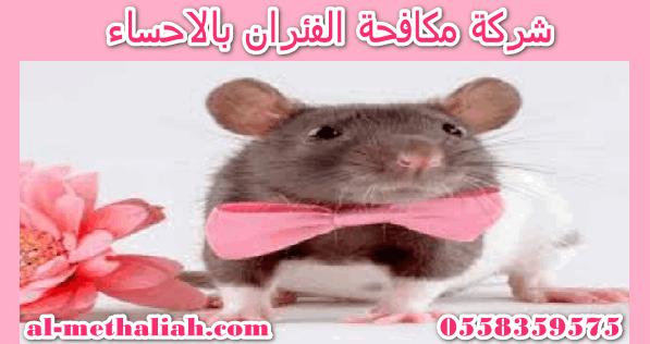 شركة مكافحة الفئران بالاحساء الفئران نوع من الحيوانات القارضة التي تعيش في المنازل ومحيطها وفي البيارات والبالوعات وحول القمامة ت Mice Control Animals Hamster