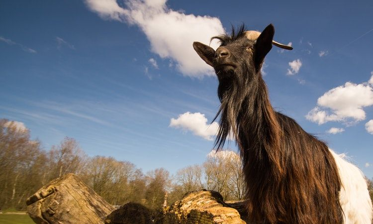 What Does Goat Mean Plus 5 Goats We Should All Learn From Admire Goat Meaning Animal Sanctuary Animals