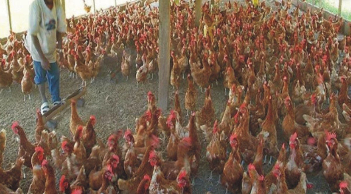 Poultry Farming Business Plan in Nigeria + Feasibility