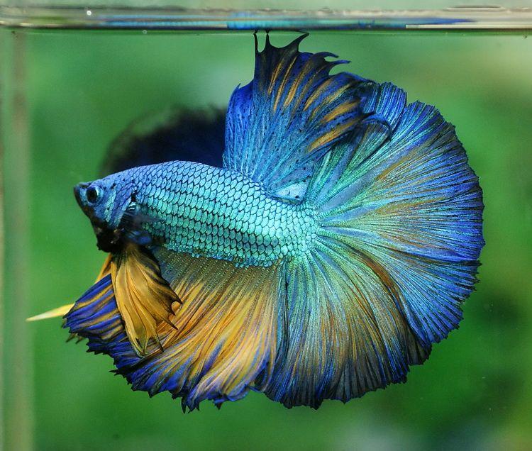 Dragon Betta Fish   White Dragon King Crown Betta