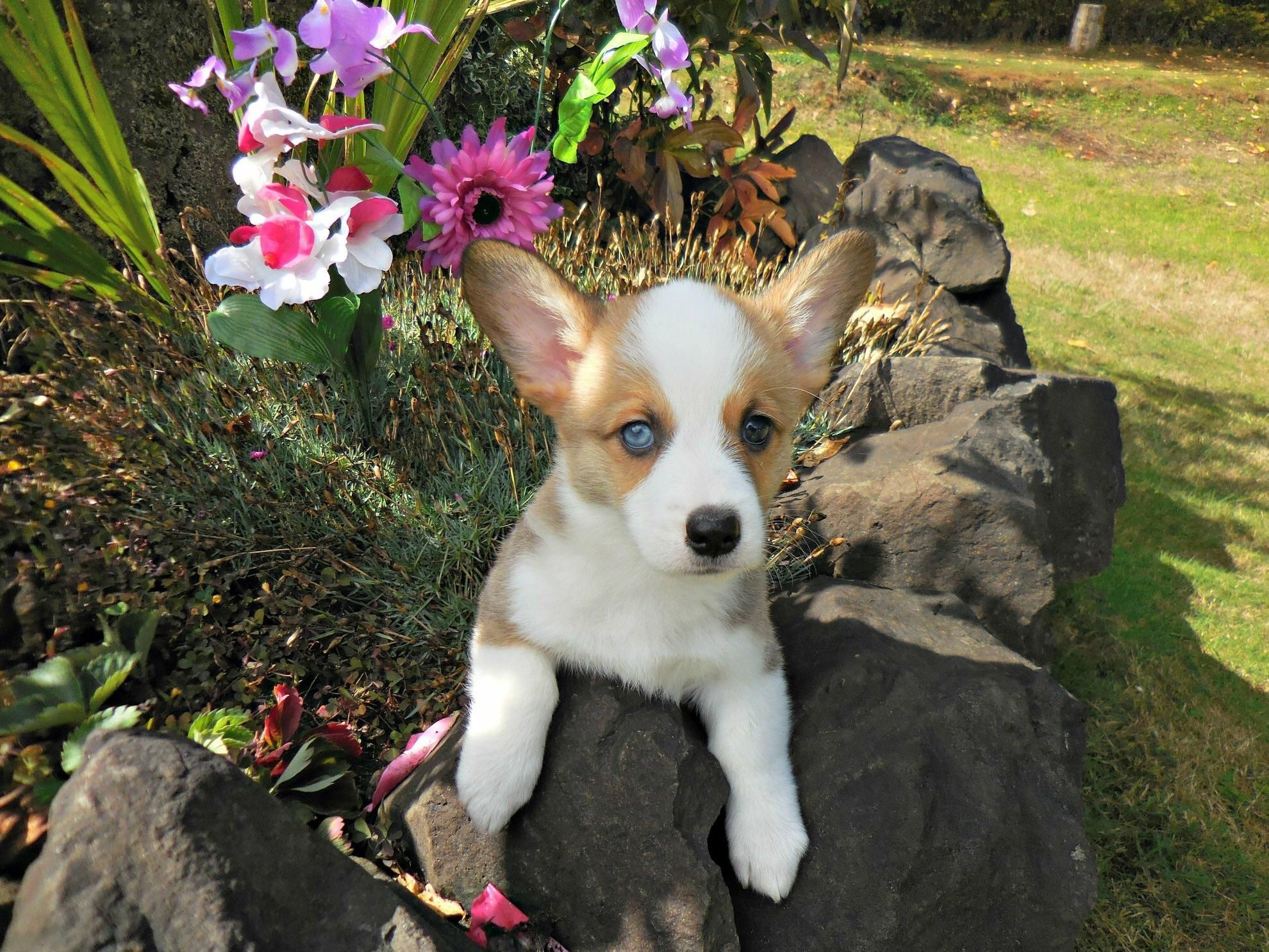 New Corgi Puppy Rudy He Has One Blue Eye And One Brown Corgi