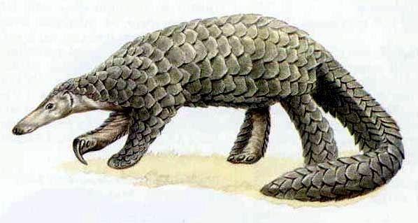 Giant Pangolin - Mammals Reference Library - redOrbit