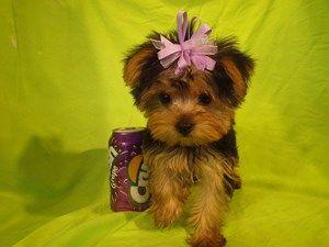 Yorkshire Terrier Dog For Sale Near Chandler Arizona 85226jax Is