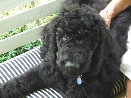 Black Phin Standard Poodle Black Puppy Poodle