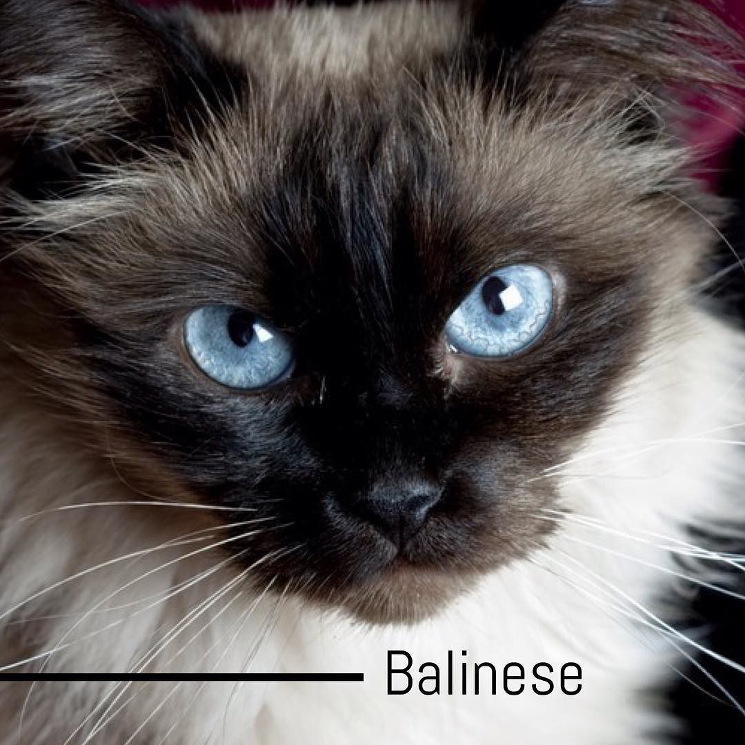 Balinese cats are smart sweet and fun to be around. Like