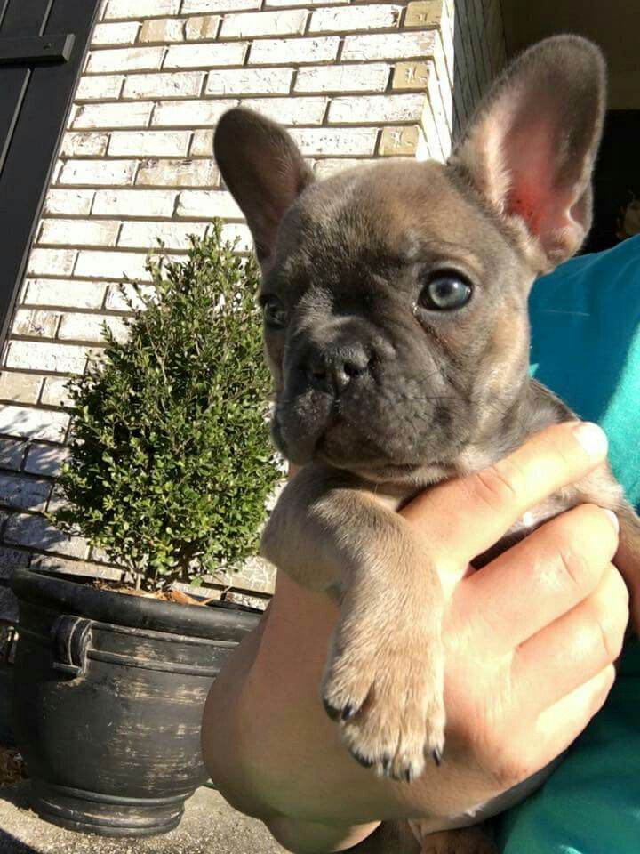 Blue fawn frenchie baby Blue fawn french bulldog, French