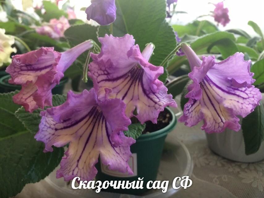 Стрептокарпус DS-Beloved. Алхимический и ароматный | Цветы ...