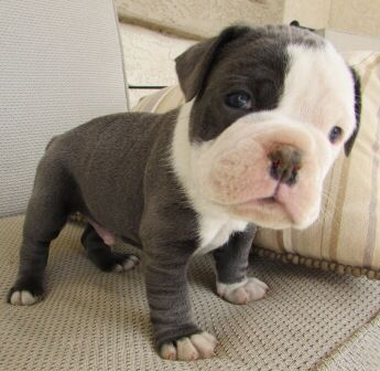 Blue Male Oeb Dogs Dogs And Puppies Bulldog