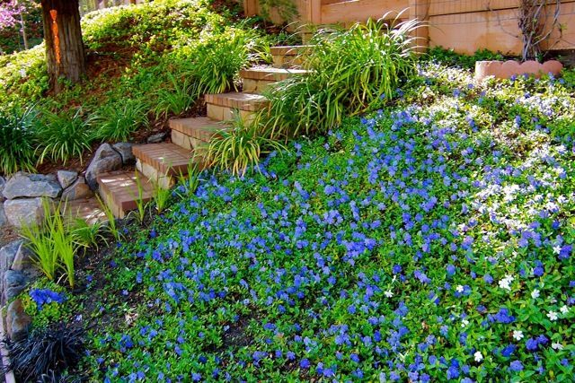 Periwinkle Ground Cover | Periwinkle Slope Ground Cover | My Garden |  Pinterest