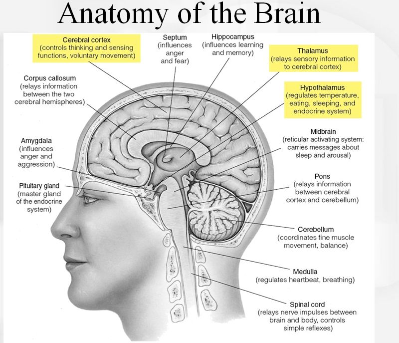 Great Graphic Of Brain Anatomy Biology Brain Anatomy Brain