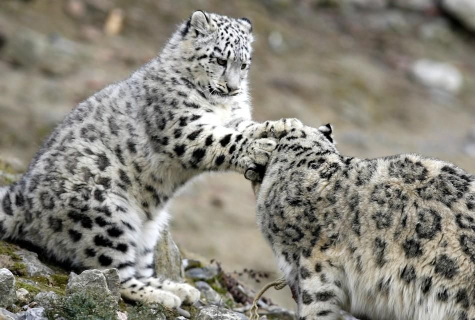 Snow Leopard Cubs Wallpaper Baby Wallpapers For Free Download