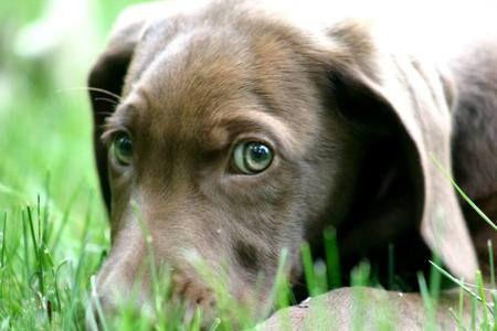 Chocolate Lab Weimaraner Mix Weimaraner Chocolate Lab Labrador Dog