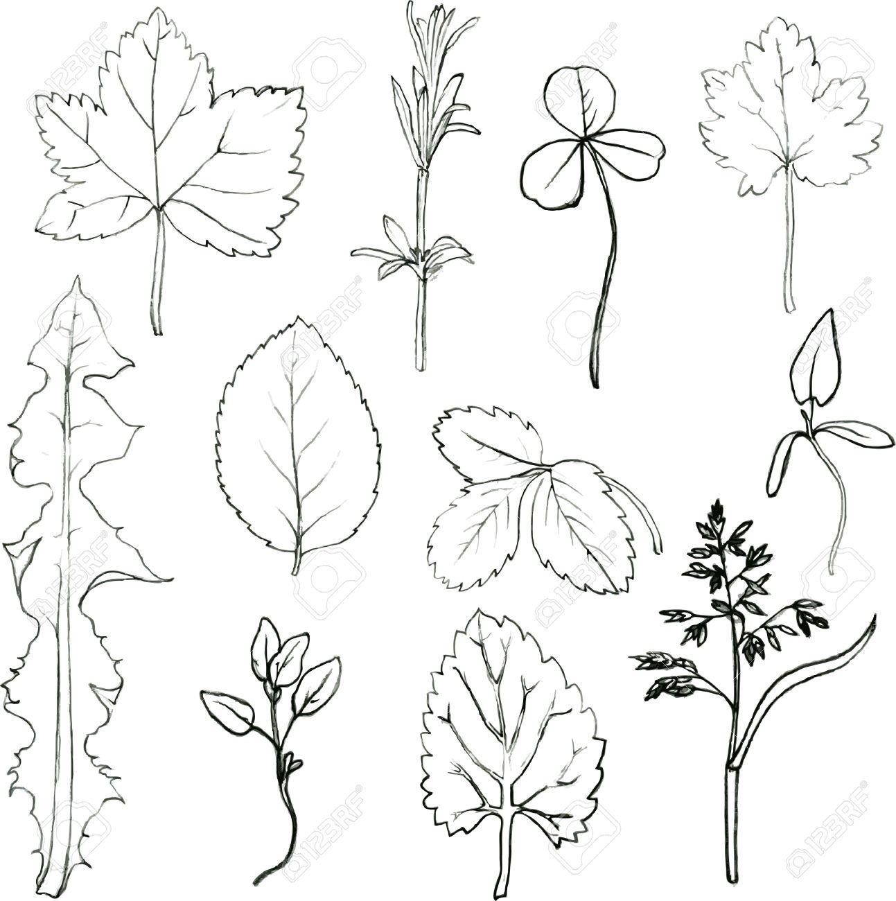 hoja de arbol dibujo botanico - Buscar con Google | árbol ...